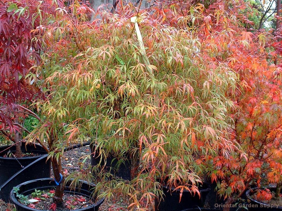 Acer palmatum 'Koto no ito' - seedling