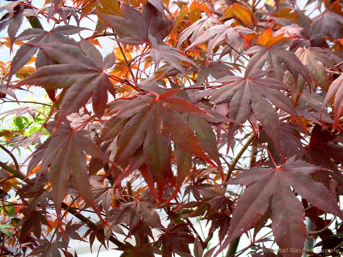 Acer palmatum 'Margaret Bee'