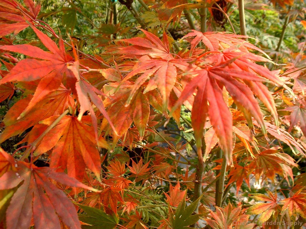 Acer palmatum 'Matsumurae'