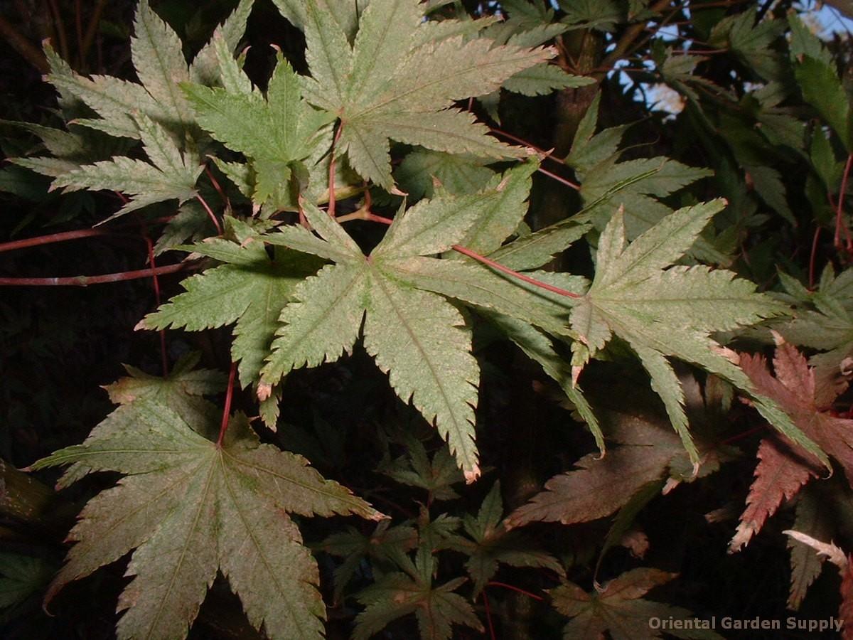 Acer palmatum 'Murakumo'