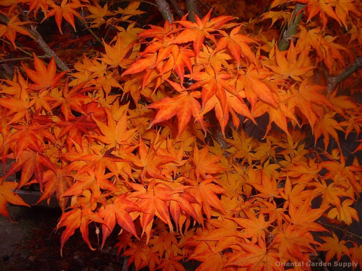 Acer palmatum 'Ogon sarasa'