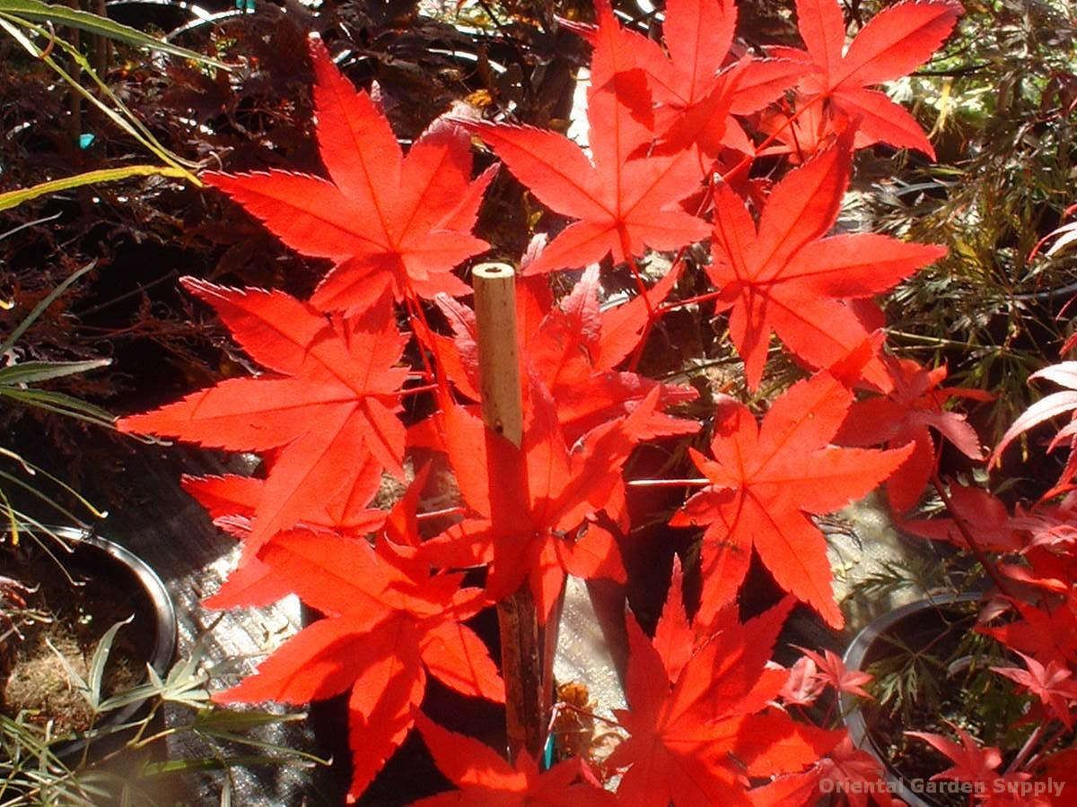 Acer palmatum 'Otome zakura'