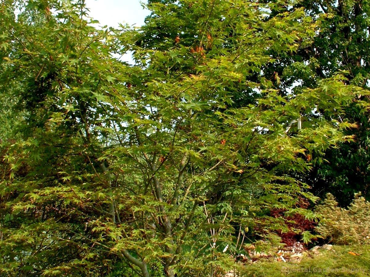 Acer palmatum 'Sensu'