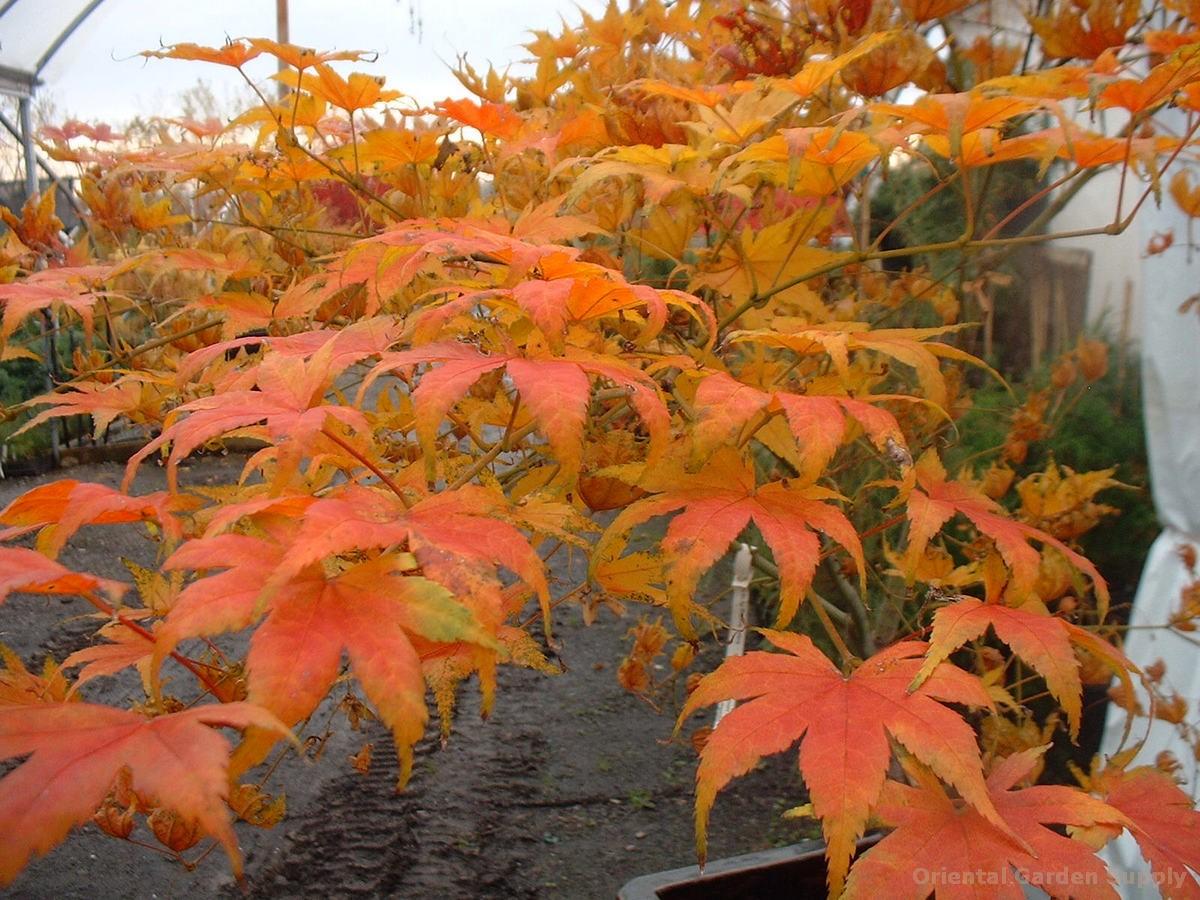 Acer palmatum 'Shigitatsu sawa'