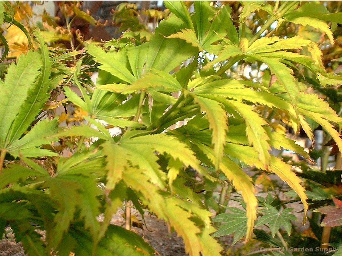 Acer Palmatum Tiger Rose Oriental Garden Supply Llc