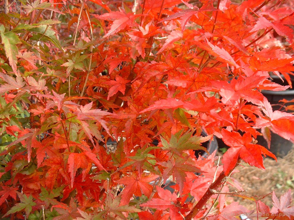 Acer palmatum 'Tsuchigumo'