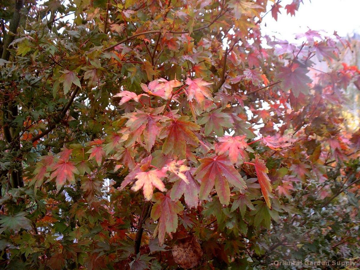 Acer palmatum 'Ven's Broom'