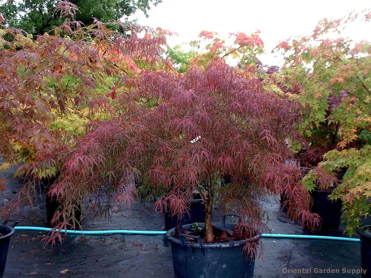 Acer palmatum 'Wentachee'