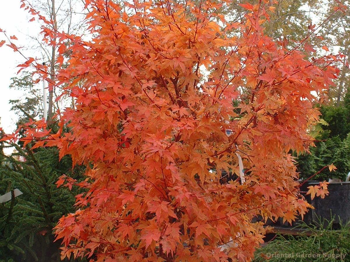 Acer Palmatum Winter Flame Oriental Garden Supply Llc