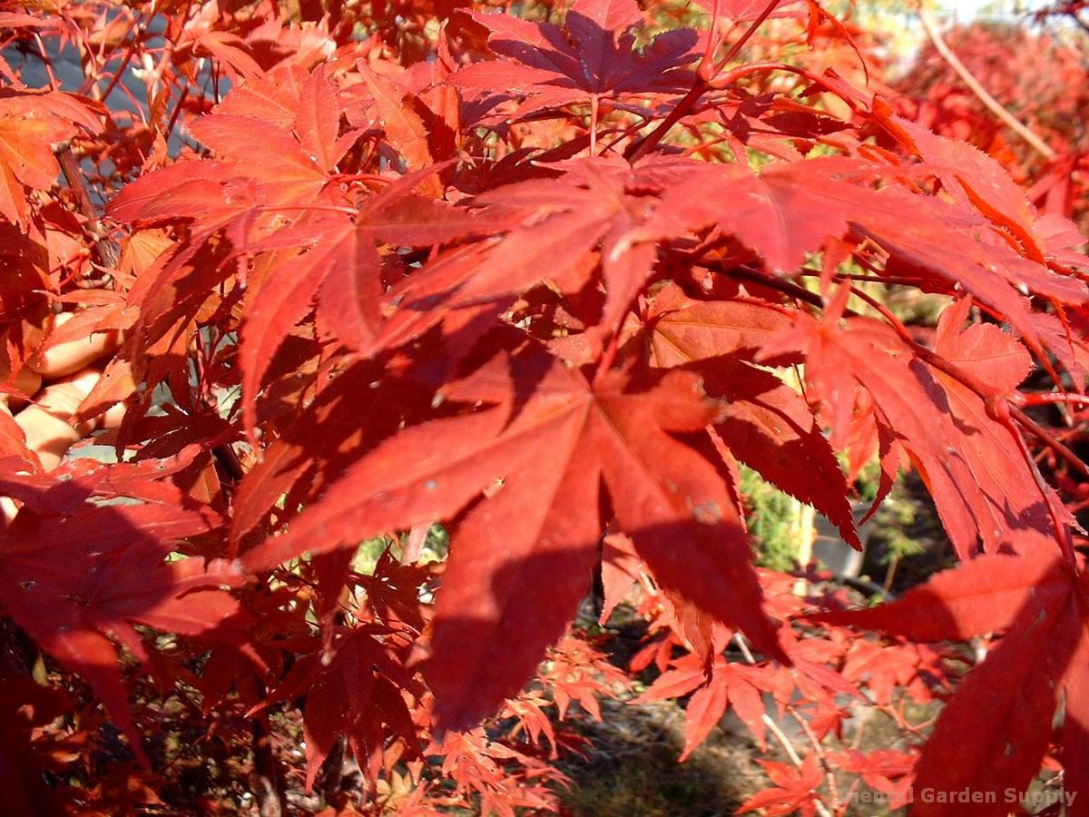 Acer palmatum 'Yugure'