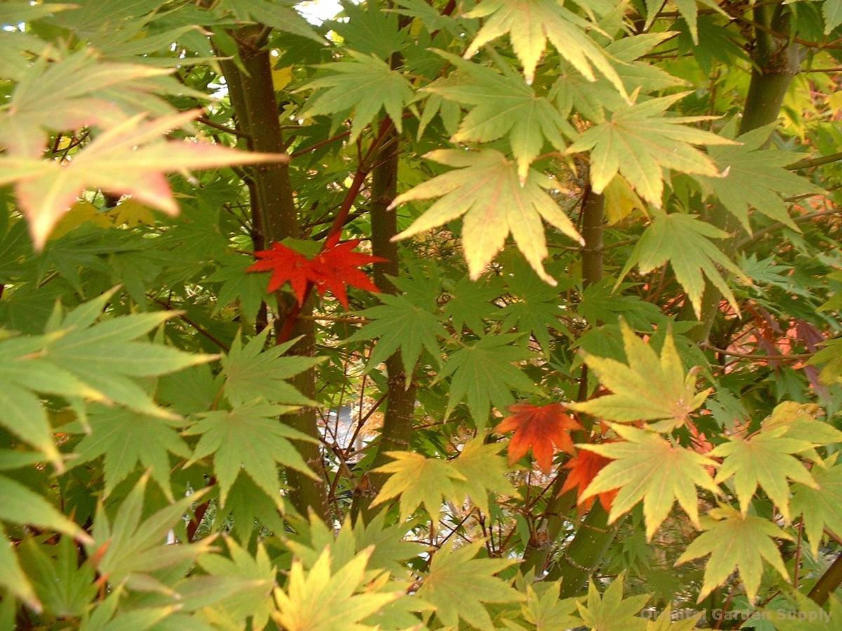 Acer shirasawanum 'Garden Glory'