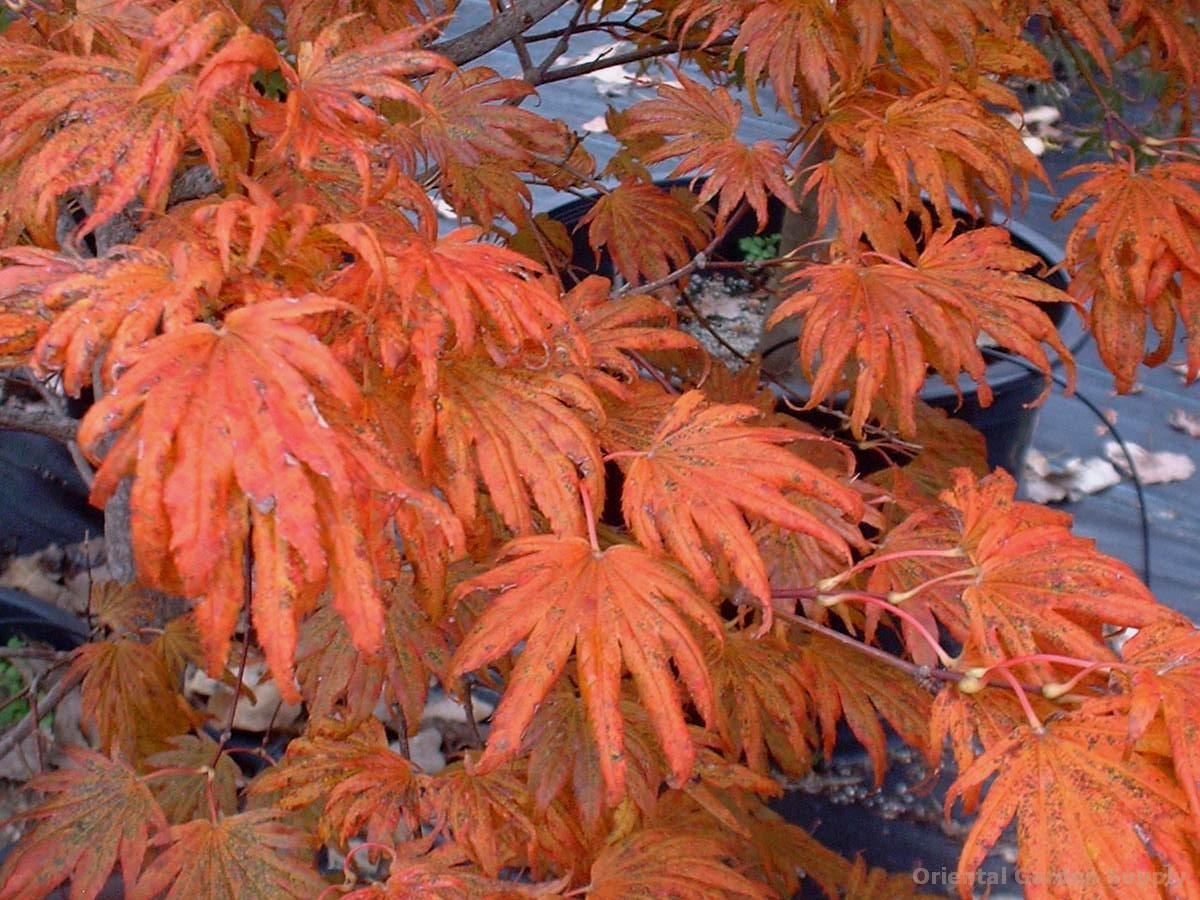 Acer shirasawanum 'Green Elf'