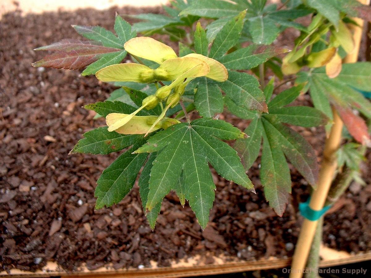 Acer shirasawanum 'Ogurayama'