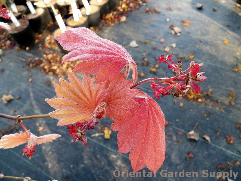 Acer japonicum 'Ruby'