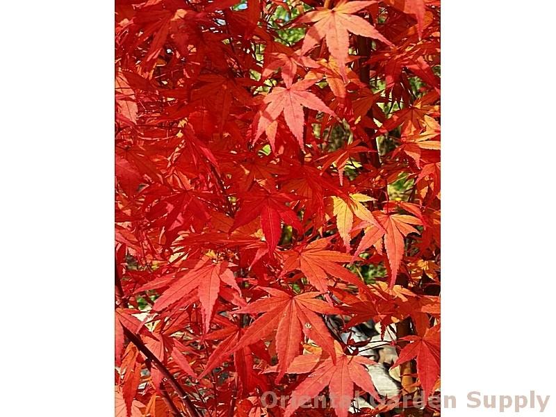 Acer palmatum 'Ilarian'