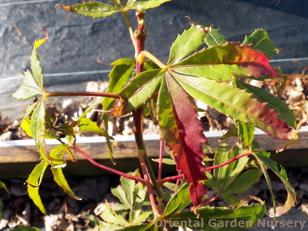 Acer palmatum 'Aoyagi gawa'