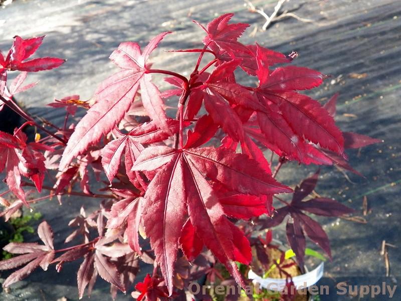 Acer palmatum 'Englishtown'