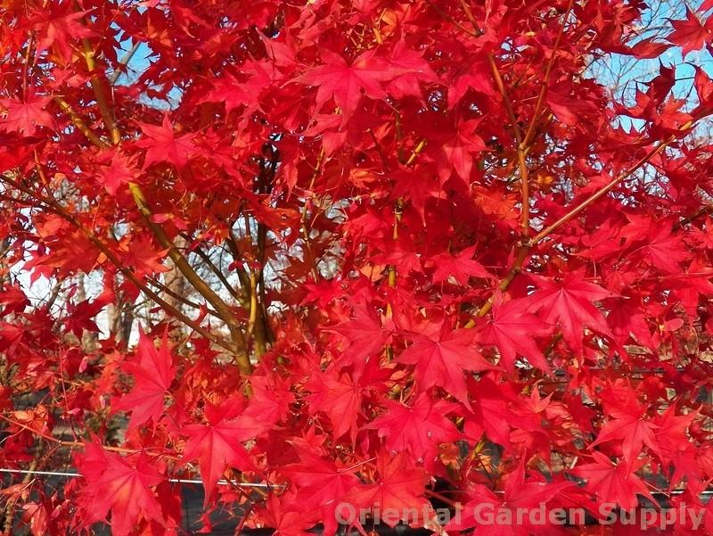 Acer palmatum 'Kogane sakae'