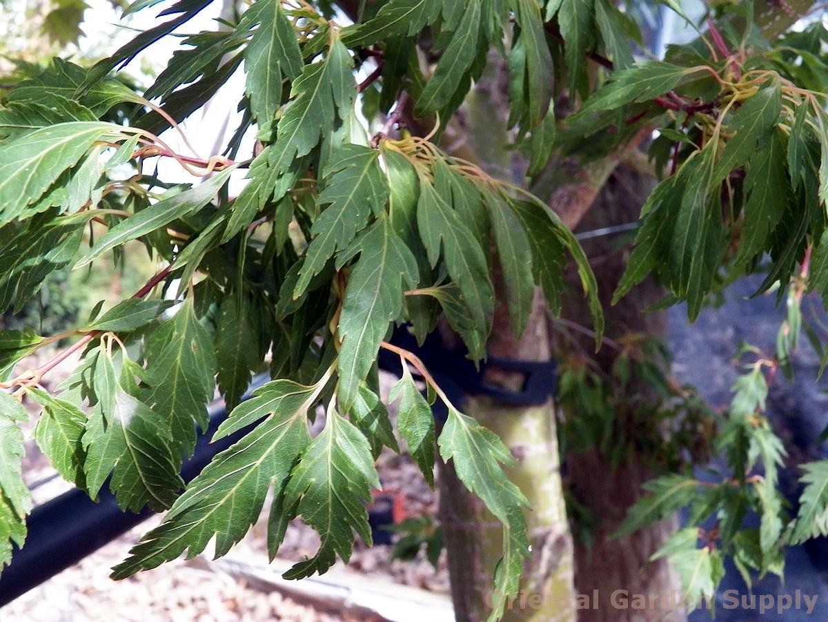 Acer palmatum 'Momenshide'
