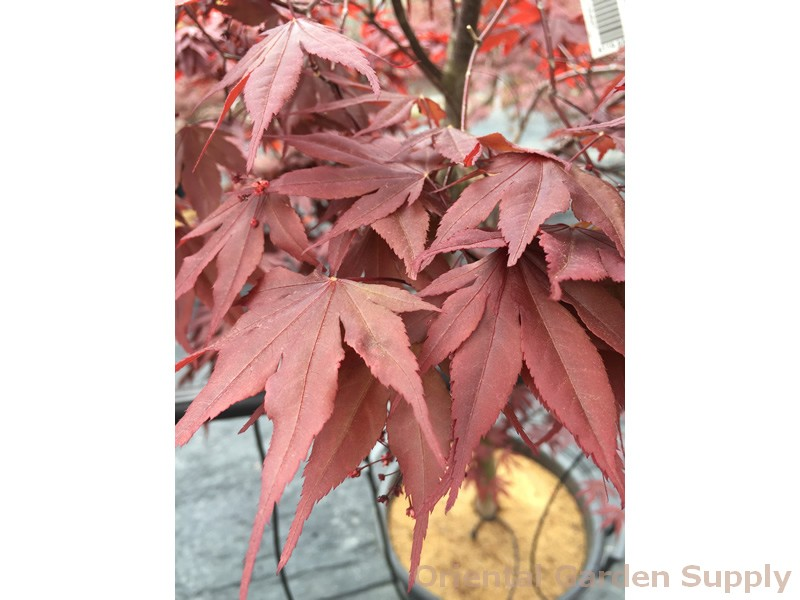 Acer palmatum 'Moonshadow'