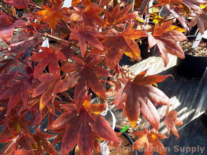 Acer palmatum 'Murogawa'