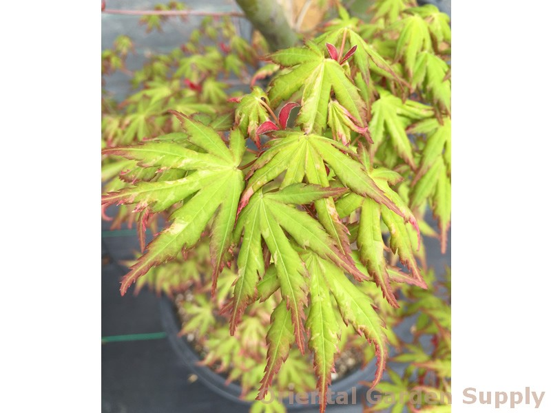 Acer palmatum 'Ori zuru'