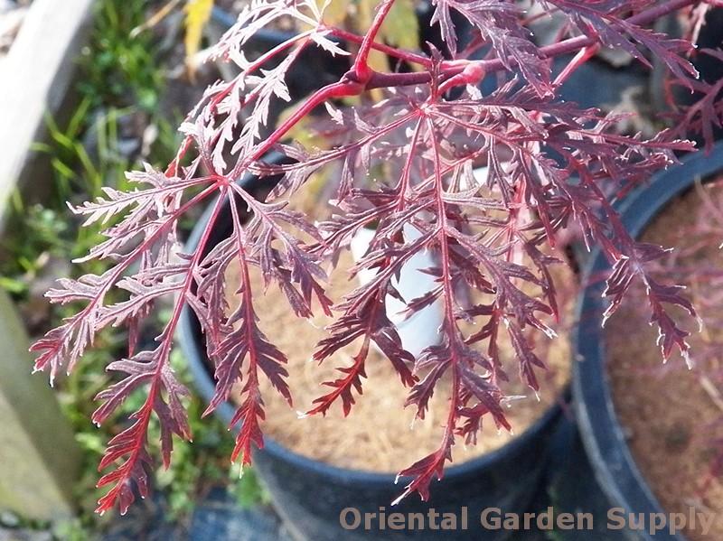 Acer Palmatum Dissectum Red Filigree Lace Oriental Garden Supply Llc