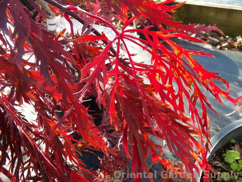 Acer palmatum dissectum 'Red Laceleaf'