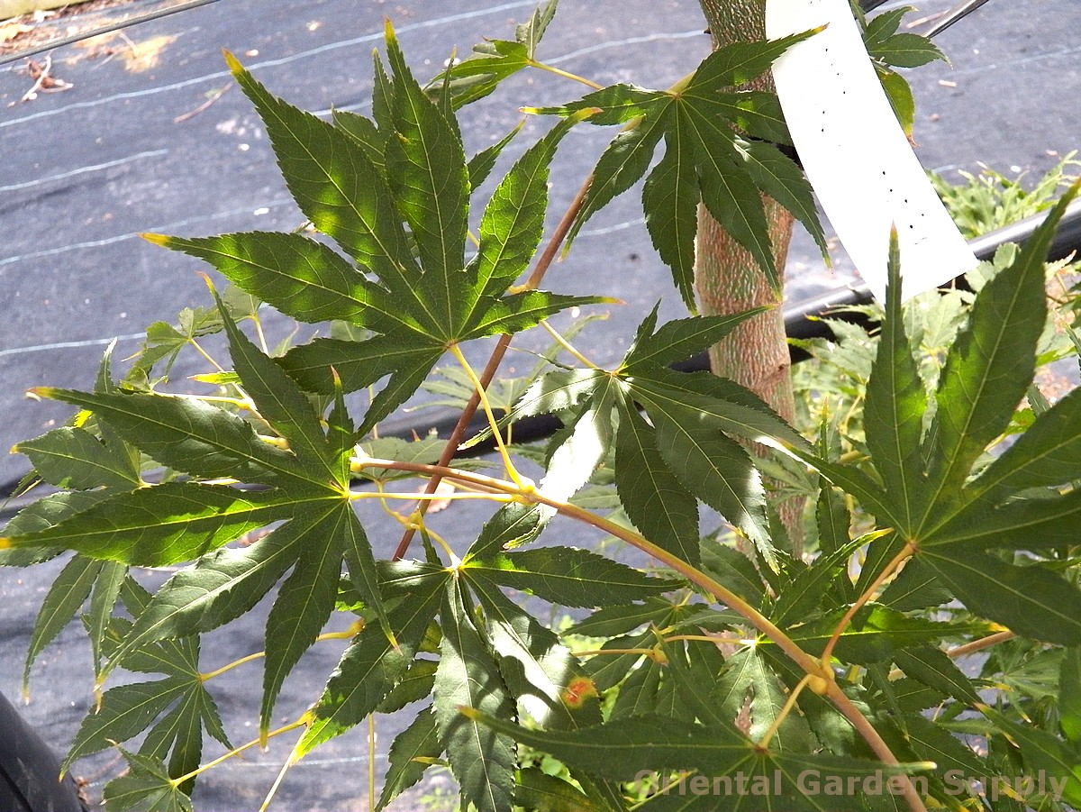 Acer palmatum 'Will D.'