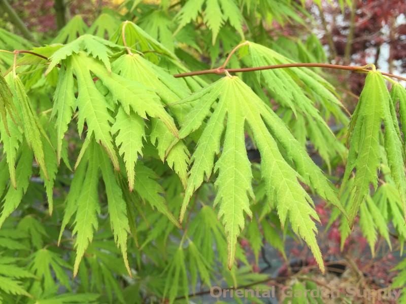 Acer pseudosieboldianum 'Arctic Jade'