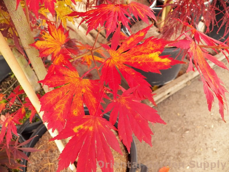Acer pseudosieboldianum 'North Wind'
