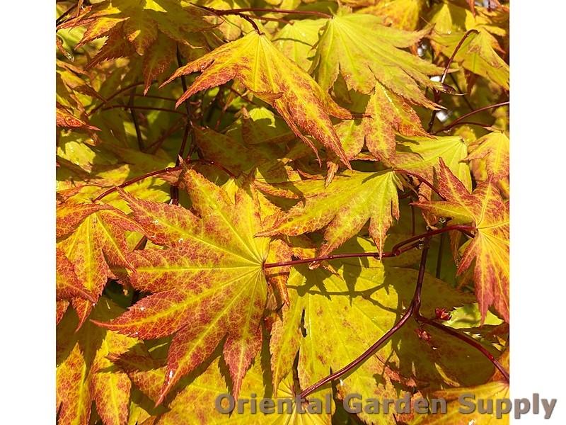 PJ_Acer_shir_Autumn_Moon_IMG_0127