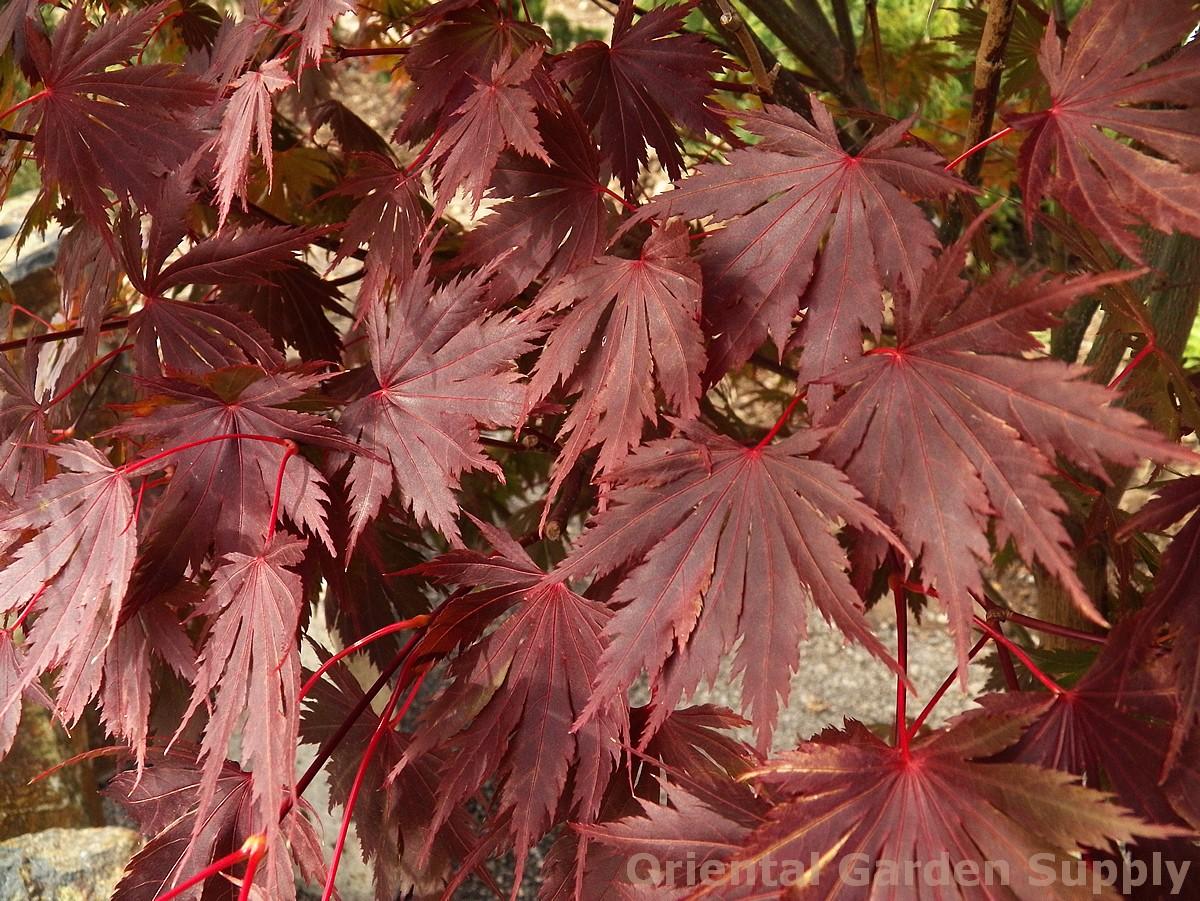 Acer shirasawanum 'Gloria'