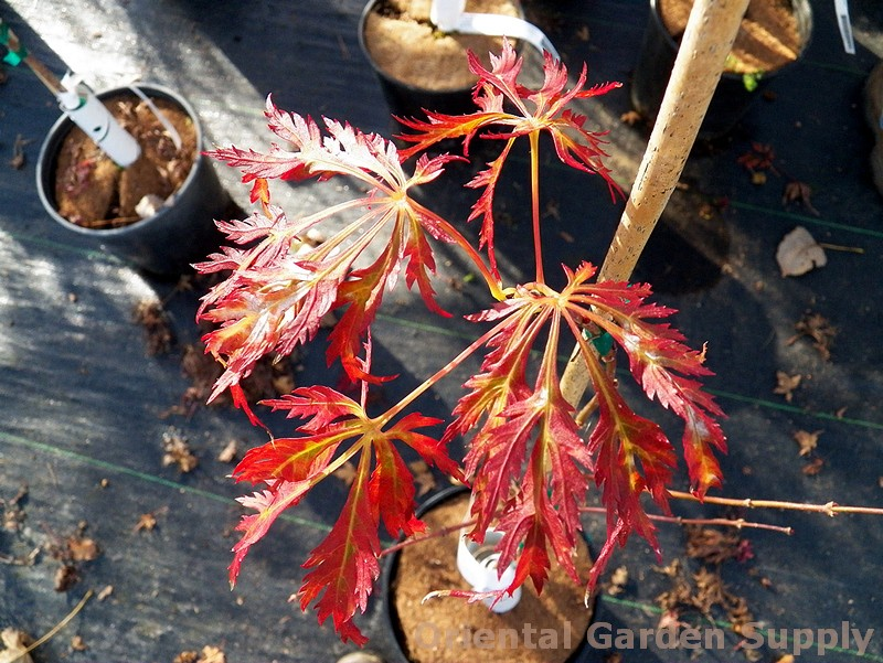 Acer shirasawanum 'Kawaii'