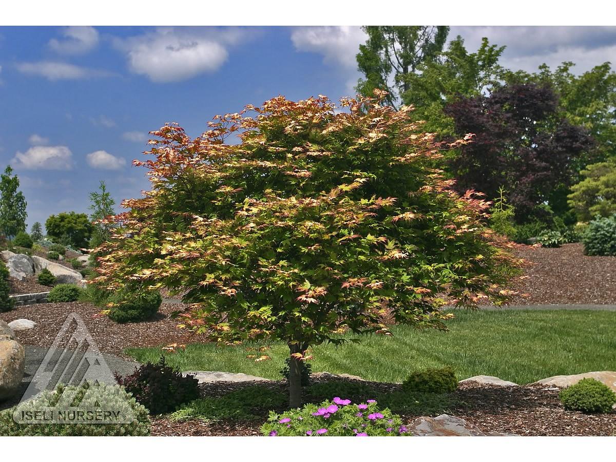 Acer palmatum 'Tsuma gaki'