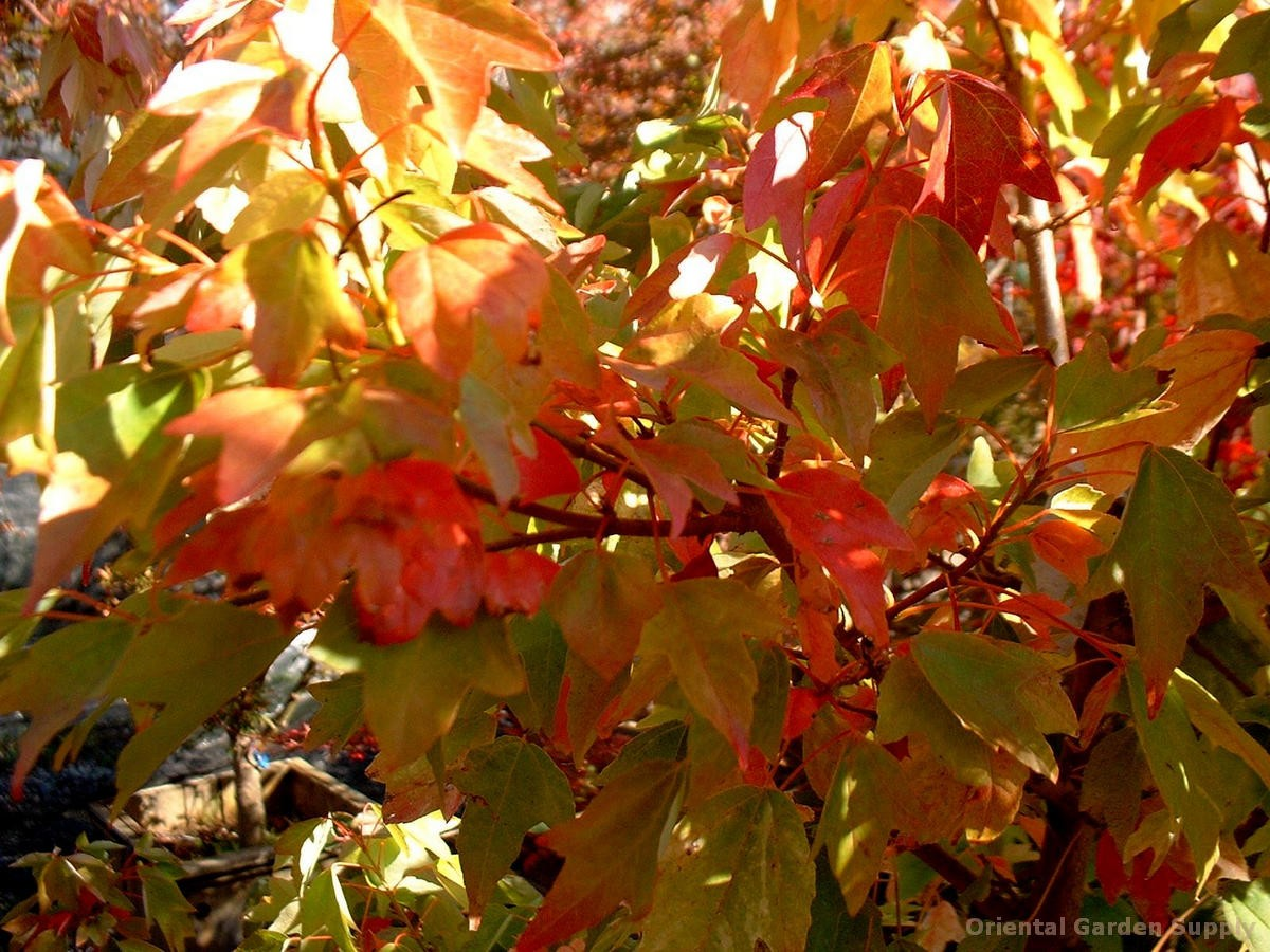 Acer buergeranum 'Wako nishiki'