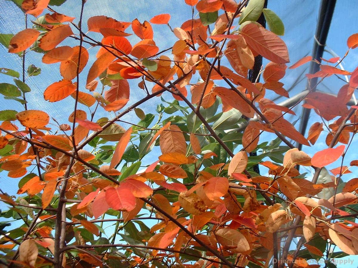 Amelanchier arborea x grandflora 'Cole's Select'