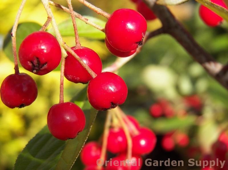 Aronia arbutifolia 'Brilliantissima'