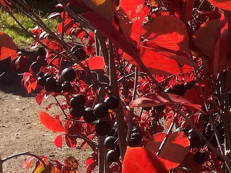 PO_Aronia_melanocarpa_IMG_3831_berries