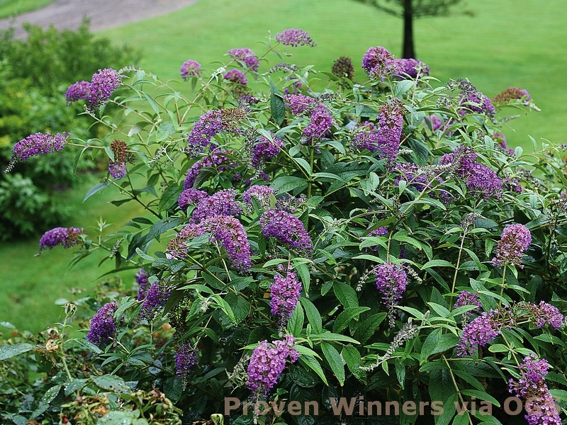 Buddleia davidii 'Purple Haze'