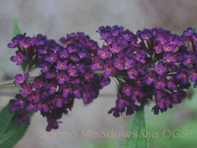 Buddleia davidii 'Black Knight'