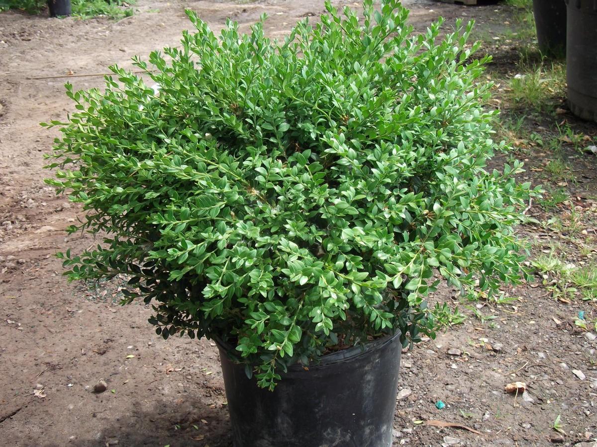 Buxus var. koreana x sempervirens 'Northern Charm'