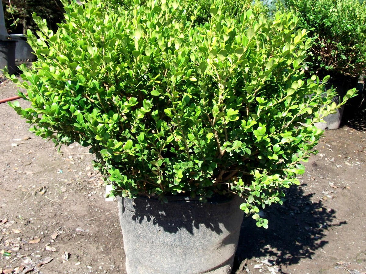 Buxus sinica var. insularis 'Winter Gem'