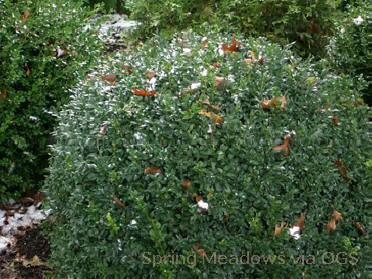 Buxus sempervirens 'North Star'