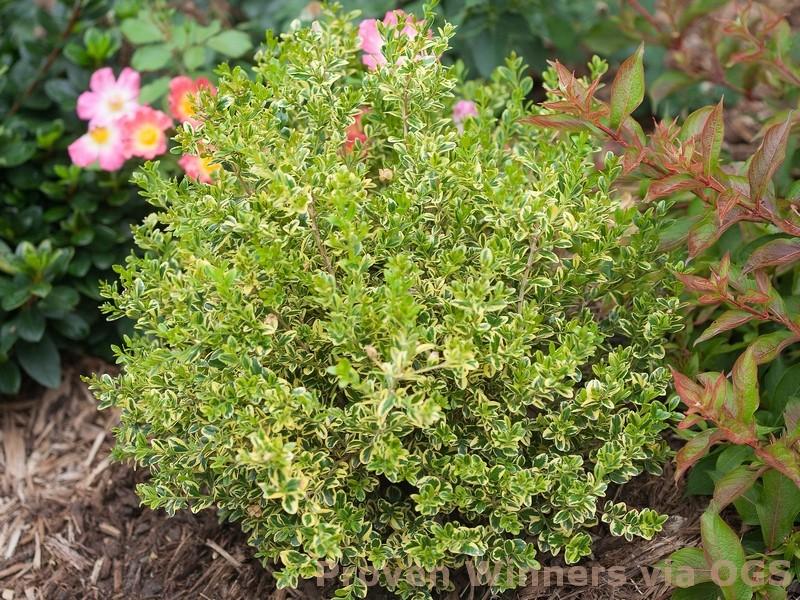 Buxus microphylla var. koreana 'Wedding Ring'