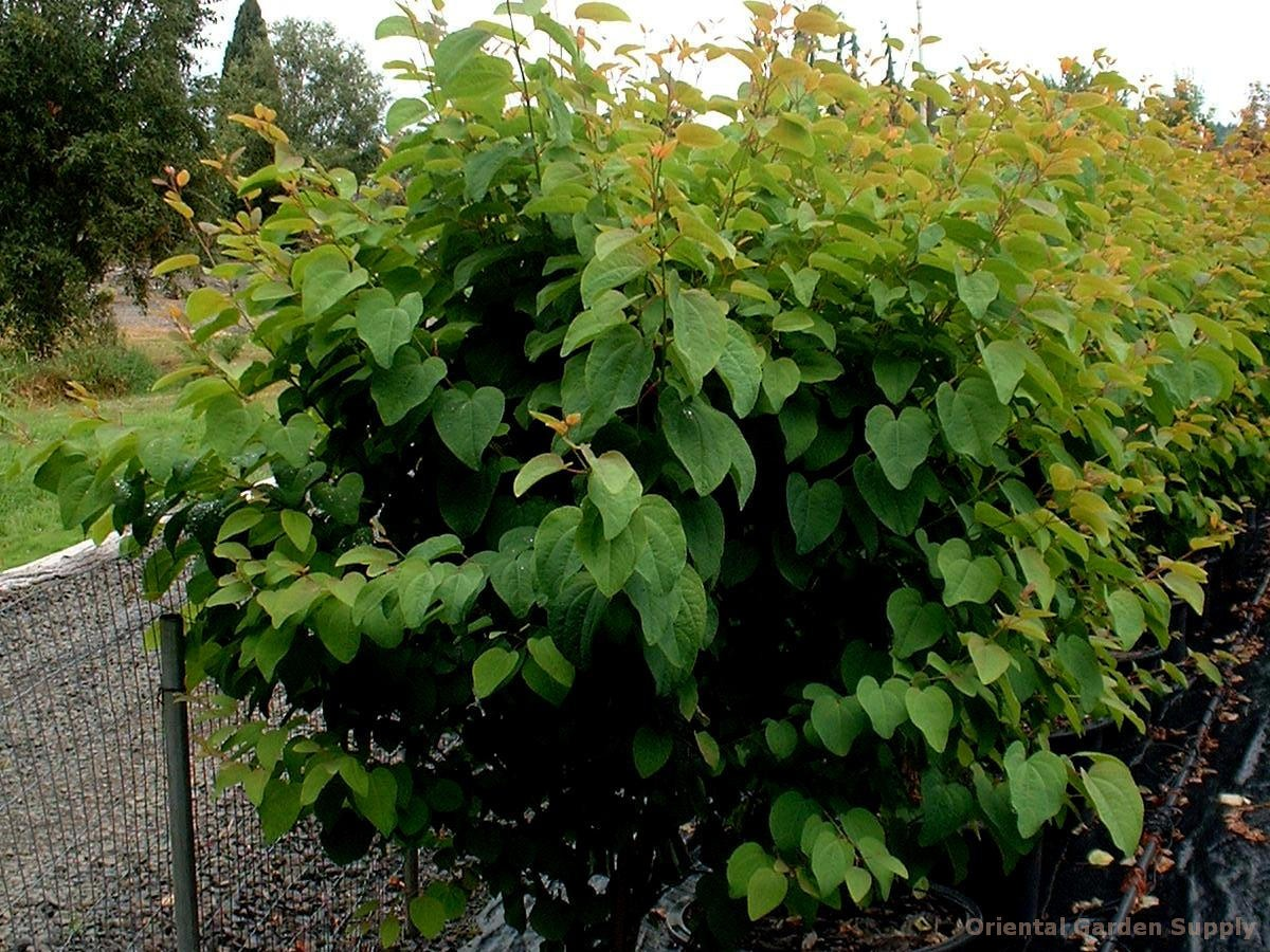 Cercidiphyllum japonicum 'Heronswood Globe'