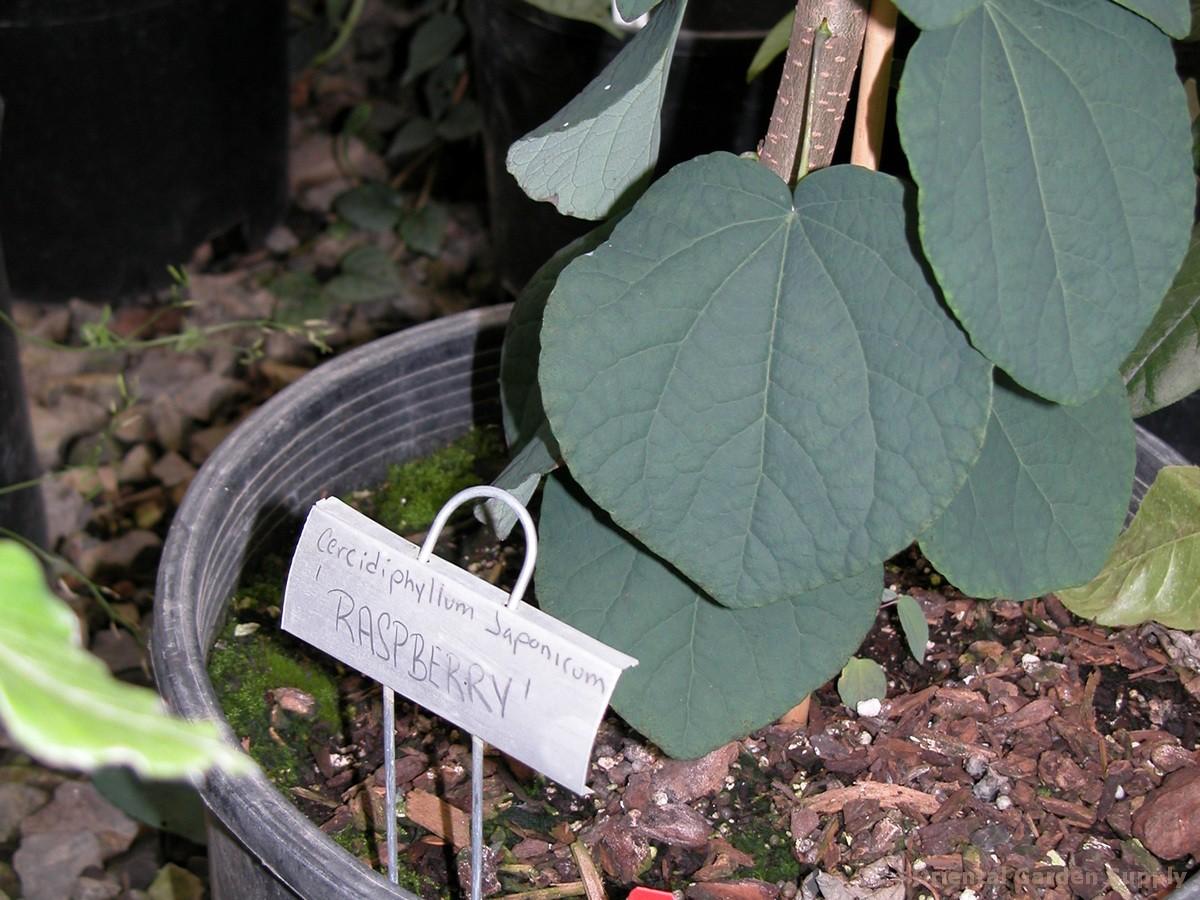 Cercidiphyllum japonicum 'Raspberry'