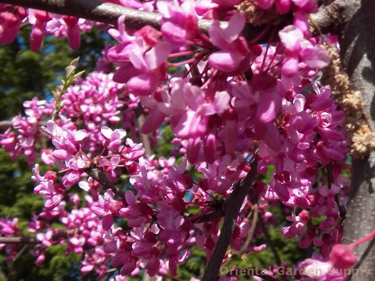 Cercis canadensis 'Covey'