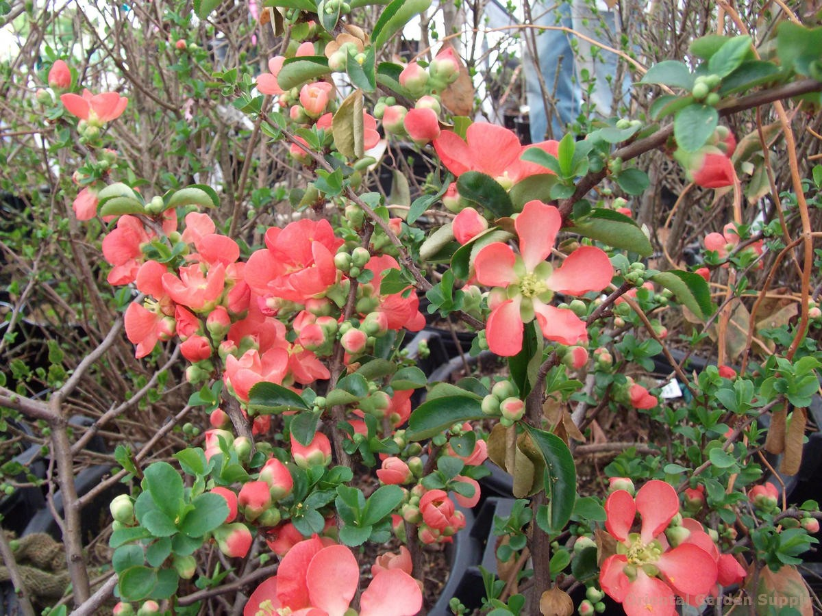 Chaenomeles japonica 'Texas Scarlet'