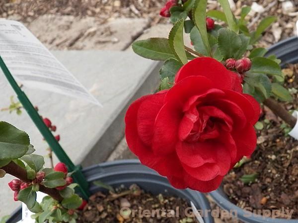 Chaenomeles speciosa 'Scarlet Storm'